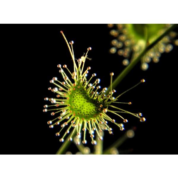 Drosera Gigantea Seeds (Giant Sundew Seeds)