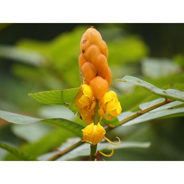 Candle Bush Seeds (Senna Alata)