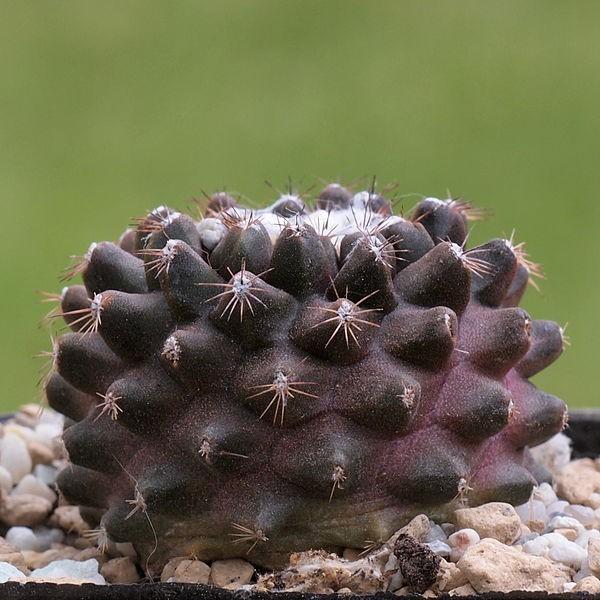 Copiapoa Humilis Seeds