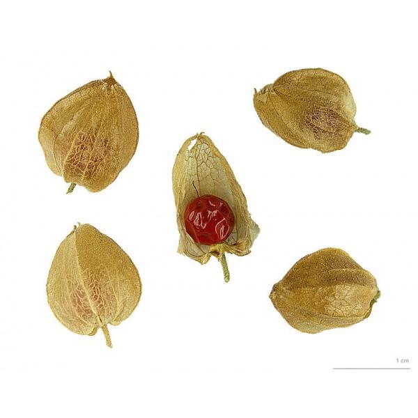Ashwagandha Seeds (Withania Somnifera)