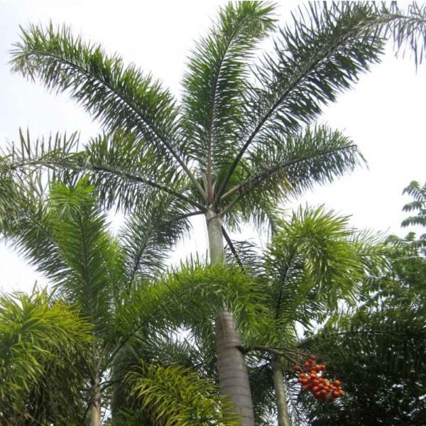 Wodyetia Bifurcata Seeds (Foxtail Palm Seeds)