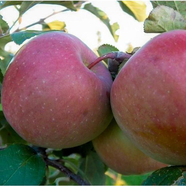 Fuji Apple Seeds