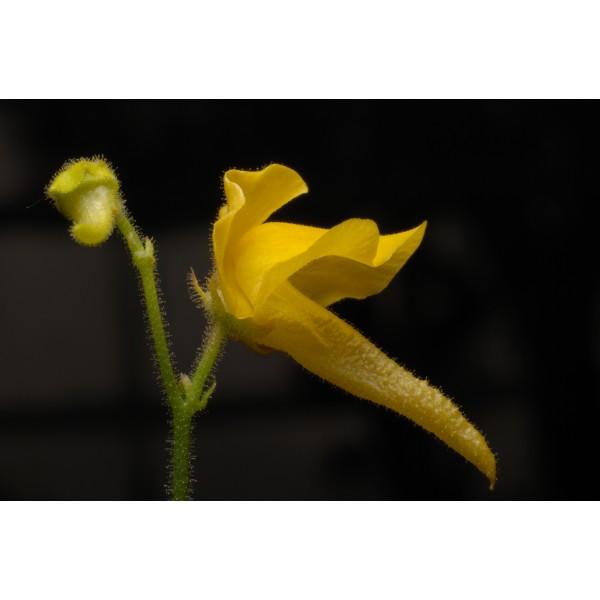 Genlisea Aurea Seeds (Corkscrew Plant Seeds)