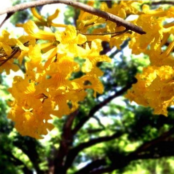 Tabebuia Chrysotricha Seeds (Golden Trumpet Tree Seeds)