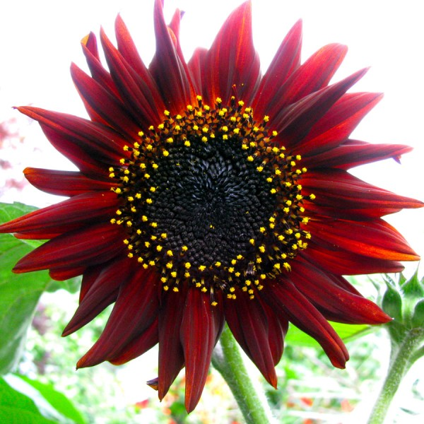 Helianthus Prado Red Seeds (Sunflower Seeds)