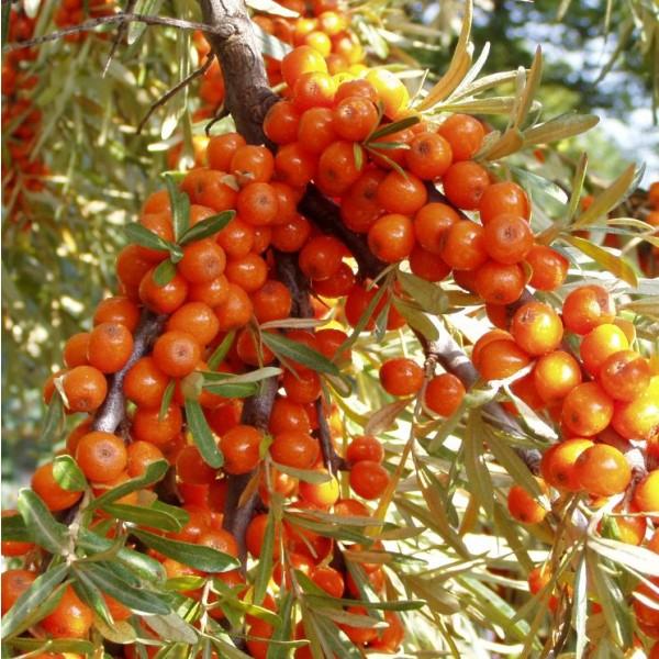 Sea-Buckthorn Seeds (Hippophae rhamnoides)