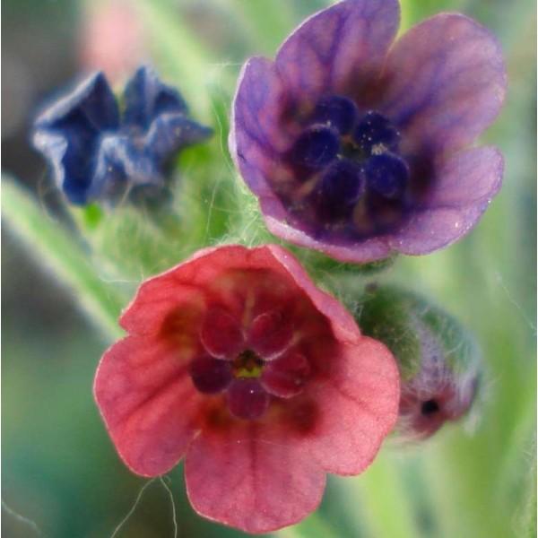 Houndstongue Seeds (Cynoglossum officinale)
