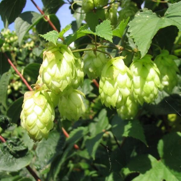 Humulus Lupulus Seeds (Common Hop Seeds)