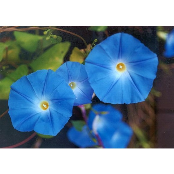 Ipomoea Tricolor - Heavenly Blue Seeds (Morning Glory Seeds, Grannyvine Seeds)