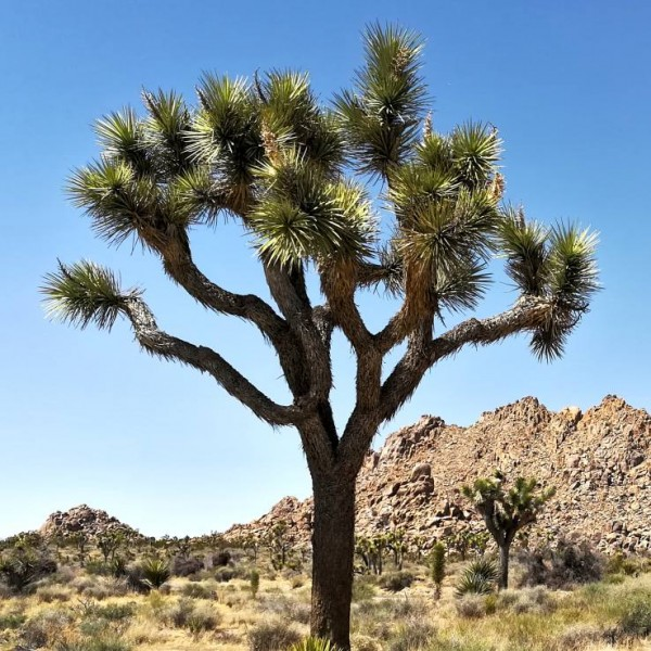 Joshua Tree Seeds