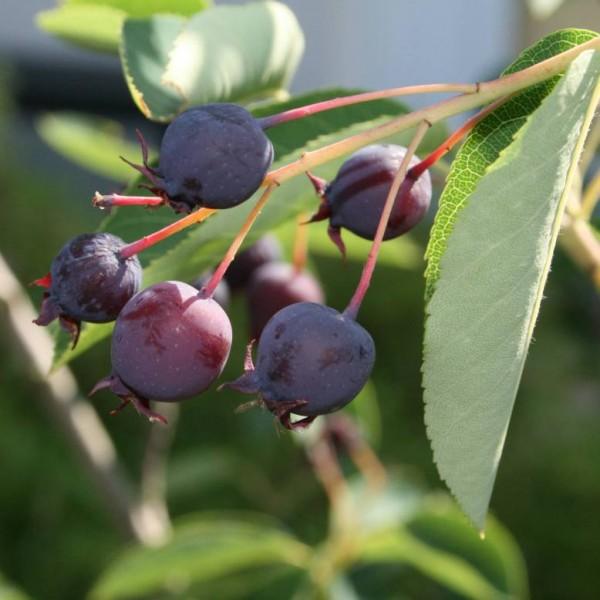 June Berry Seeds (Amelanchier lamarckii)