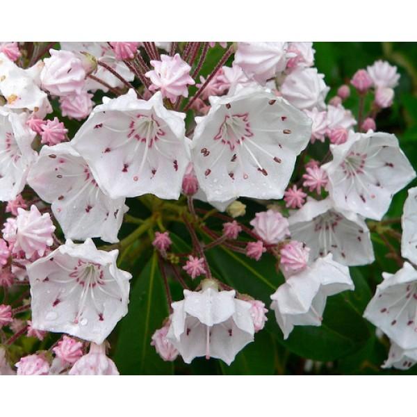 Mountain-Laurel Seeds (Kalmia latifolia)