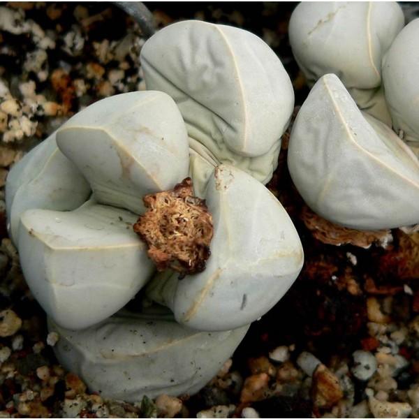 Lapidaria Margaretae Seeds (Karoo Rose)