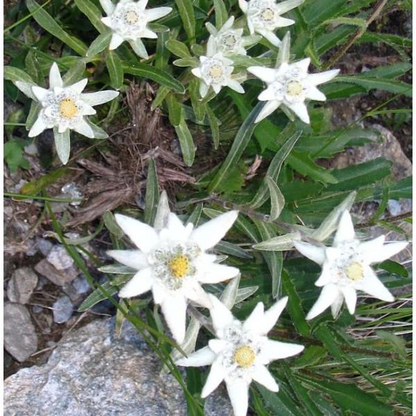 Edelweiss Seeds (Leontopodium Alpinum Seeds)