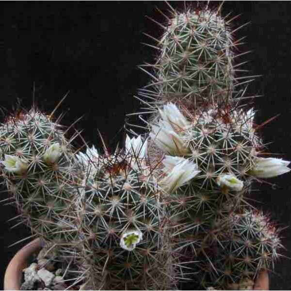 Mammillaria Capensis Seeds