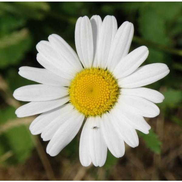 German Chamomile Seeds *ORGANIC*