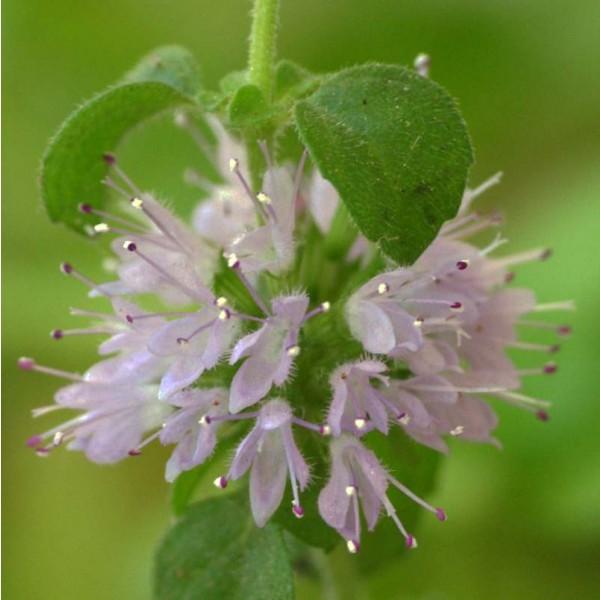 Pennyroyal Seeds (Mentha pulegium)