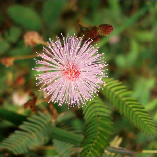 Mimosa Pudica (Sensitive Plant)