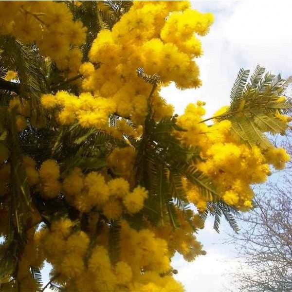 Mimosa Scabrella Seeds (Mimosa Bracatinga Seeds)