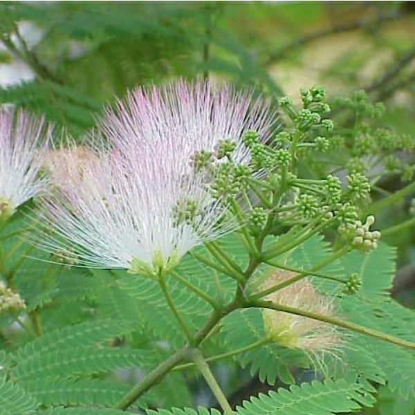 Silk Tree Seeds