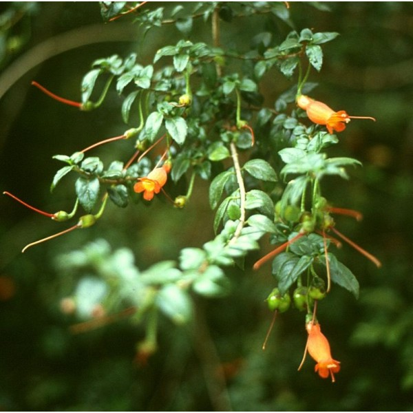 Mitraria Coccinea Seeds ( Chilean Mitre Flower seeds)