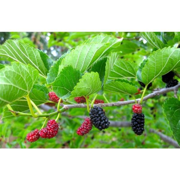 Morus Rubra Seeds (Red Mulberry Seeds)
