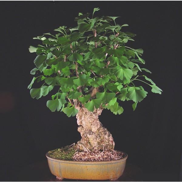 Ginkgo Biloba Seeds (Maidenhair Tree Seeds)
