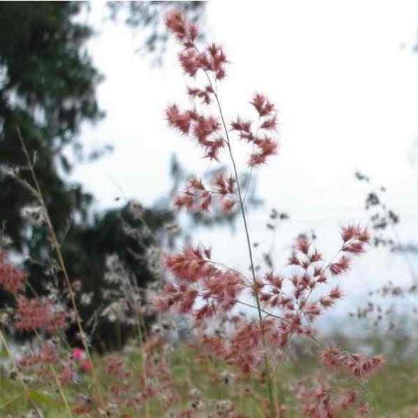 Natal Grass Seeds