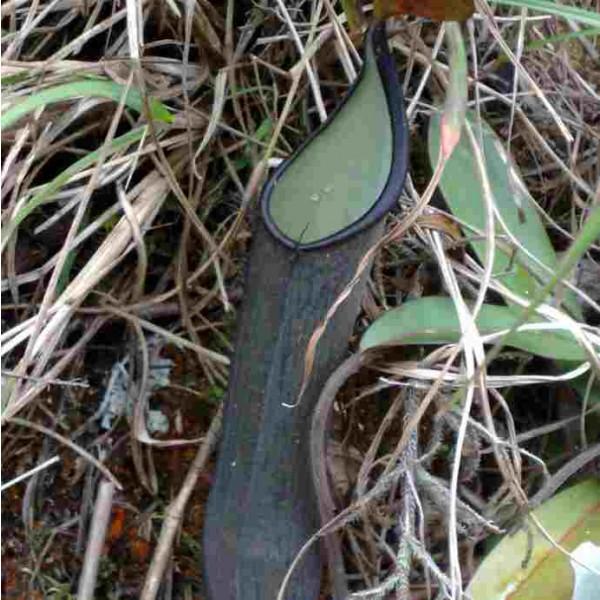 Nepenthes ramispina Seeds
