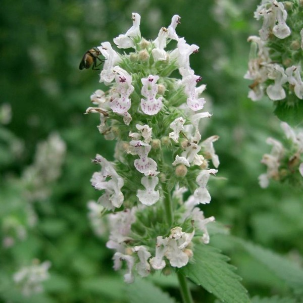 Catnip Seeds (Nepeta cataria) *ORGANIC*