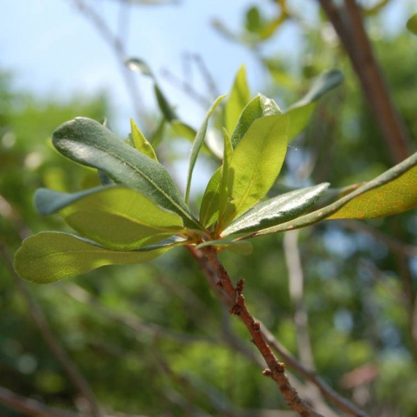 Northern Bayberry Seeds (Myrica Pensylvanica)