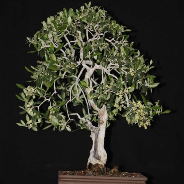 Olea Europaea Seeds (European Olive Seeds)