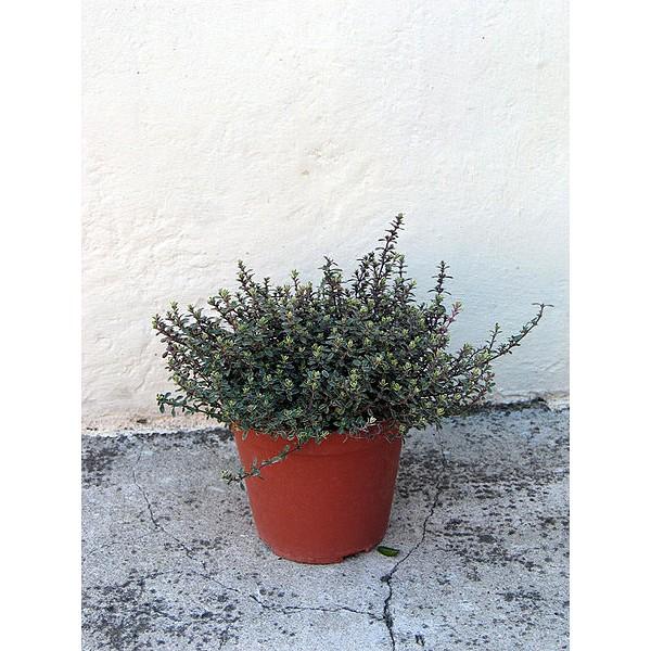 Origanum Majorana Seeds (Sweet Marjoram Seeds, Knotted Marjoram, Pot Marjoram)