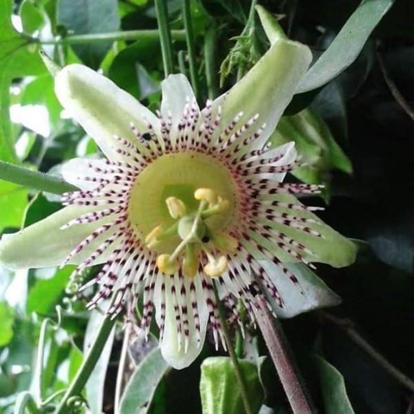 Passiflora Adenopoda Seeds