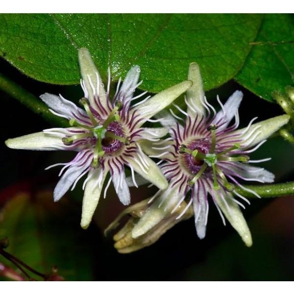 Passiflora Sexflora Seeds (Goatsfoot Seeds)