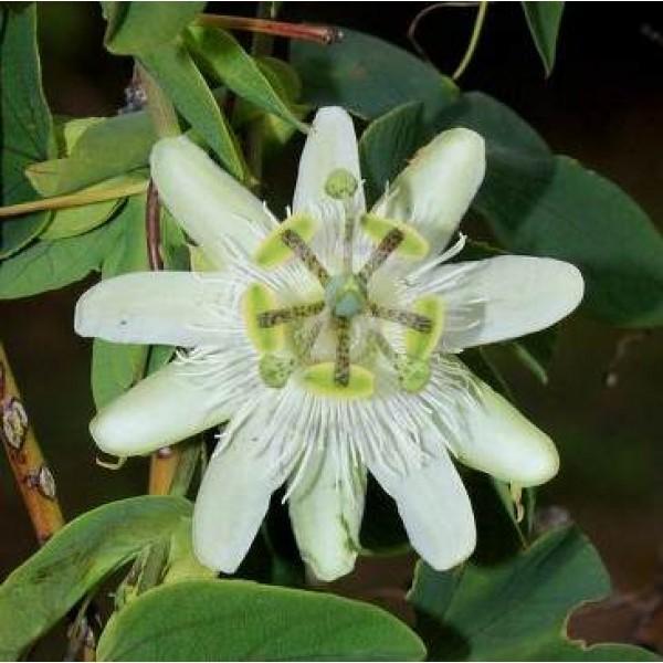 Passiflora Tenuifila Seeds