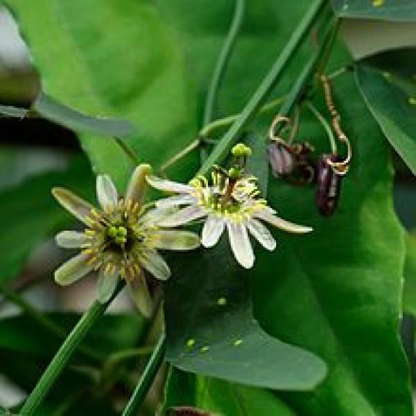 Passiflora Biflora - Twoflower Passionflower