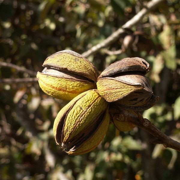 Pecan Tree Seeds (Carya Illinoinensis)