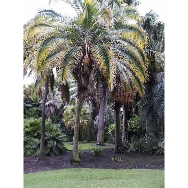 Phoenix Rupicola Seeds (Cliff Date Palm Seeds)
