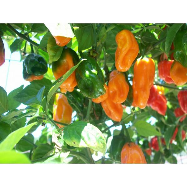 Capsicum Habanero Seeds (Habanero Pepper Seeds) *ORGANIC*