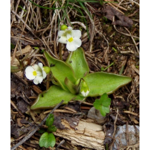 Pinguicula Alpina (Alpina Butterwort)