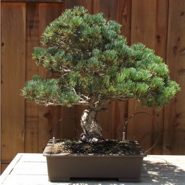 Japanese White Pine - Pinus Parviflora- Bonsai