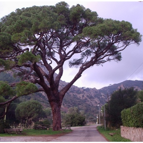 Pinus Pinea Seeds (Stone Pine)