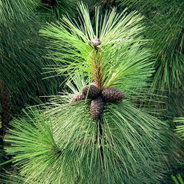 Ponderosa Pine Seeds (Pinus Ponderosa)