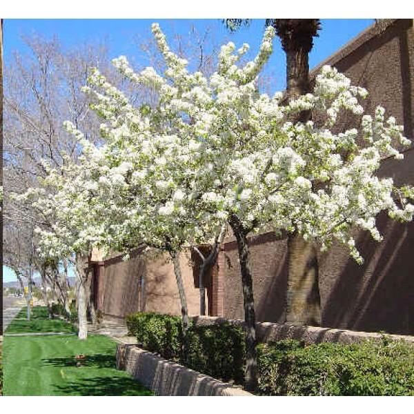 Prunus Americana Seeds (American Plum Seeds, Wild Plum)