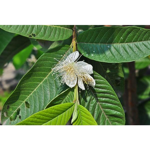 Common Guava Seeds (Psidium Guajava)