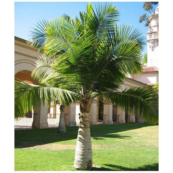 Ravenea Rivularis Seeds (Majesty Palm Seeds, Majestic Palm Seeds)