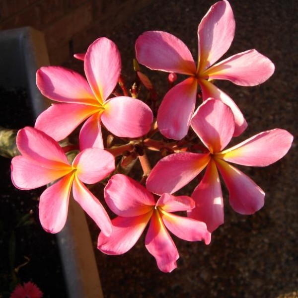 Plumeria Seeds Hybrids (Frangipani Seeds, Temple Trees Seeds, Lei Flower)