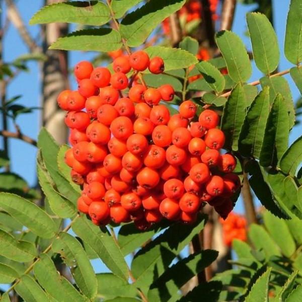 Rowan Seeds (Sorbus aucuparia)