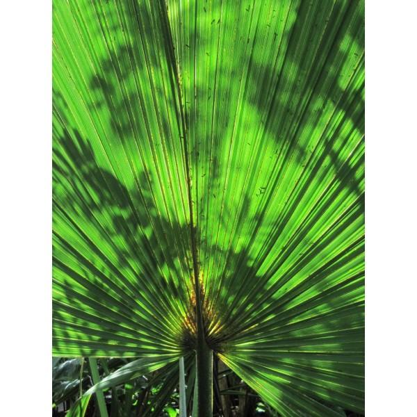 Sabal Minor Seeds (Dwarf Palmetto Seeds)